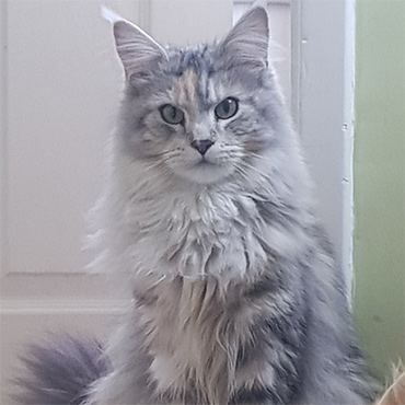 amber, maine coon cat