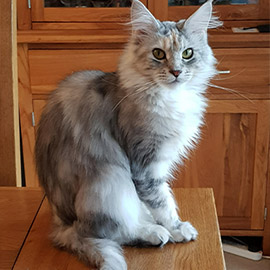 Our Cats Maine Coon Kittens For Sale In Uk Edenmaine