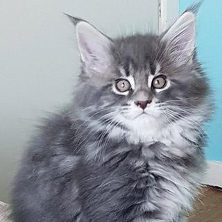 maine coon kittens for sale in UK